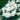 Begonia Non Stop White 2